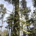ever green evergreen- Paulina Falls