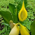 Skunk Cabbage- Tryon Creek State Park, Cedar Trail Hike