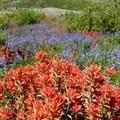Abundant paintbrush and lupine fields- Harry's Ridge via Johnston Ridge Observatory