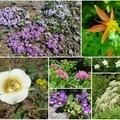 Clockwise from top left: phlox, red columbine, columbia windflower, cow parsnip, penstemon, mariposa lily, spiraea [center]- Burnt Lake + Zigzag Mountain