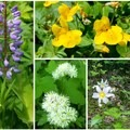 Clockwise from left: lupine/paintbrush, monkey flower, shooting stars, avalanche lily, western white clematis- Burnt Lake + Zigzag Mountain