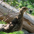 Grouse (one of about 8 we saw)- Colchuck Lake Trail