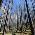 Completely burnt trees along Nick Eaton Trail- Indian Point Hike via Herman Creek Trailhead