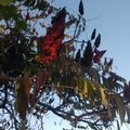 Staghorn sumac berries add autumn color. - Ganondagan State Historic Site