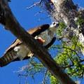 The resident osprey eating lunch - Lake Martin Paddling