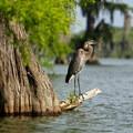Great Blue Heron- Lake Martin Paddling