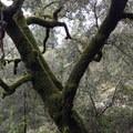 Moss covered oak- Feather Falls + Frey Creek Falls