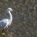 Snowy egret 2' off shore- Seabright Beach