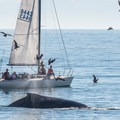 Whale breaching about 100' off shore- Seabright Beach