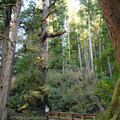 Cape Perpetua Giant Spruce Trail.- Giant Spruce Trail