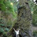 Cape Perpetua Giant Spruce Trail.- Giant Spruce Trail