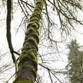 Bigleaf maples (Acer macrophyllum) in Tryon Creek State Park.- Tryon Creek State Park
