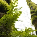 Licorice fern (Polypodium glycyrrhiza) on bigleaf maples (Acer macrophyllum) in Tryon Creek State Park.- Tryon Creek State Park