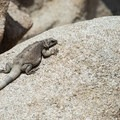 A male common chuckwalla (Sauromalus ater) along the Hidden Valley Nature Trail.- Hidden Valley Nature Trail
