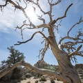 A dead single-leaf pinyon (Pinus monophylla subsp. monophylla) on the Hidden Valley Nature Trail.- Hidden Valley Nature Trail