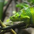 Chameleon at the Portland Zoo.- Washington Park
