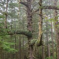A beautiful spruce tree growing on the Clatsop Trail portion of the Tillamook Head Trail.- Tillamook Head Hike