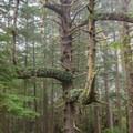 A beautiful spruce tree growing on the Clatsop Trail portion of the Tillamook Head Trail.- Tillamook Head Hike