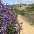 Lupine along the trail- Johnston Ridge Boundary Trail