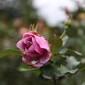 Rose Garden in early November- International Rose Test Garden