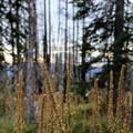 Bear grass on Mount Adams- Mount Adams, South Climb