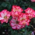 Portland's International Rose Test Garden- International Rose Test Garden