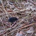 A blind shrew on the run along Hummocks Trail- Hummocks Trail