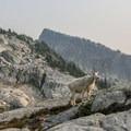 Mountain goat at Robin Lake- Tuck + Robin Lakes