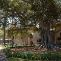 The beautiful cemetery Moreton Bay fig tree.- Old Mission Santa Barbara
