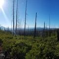 Miles of manzanita in one of the burn areas- Three Fingered Jack Loop