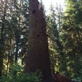 Oops- Hoh Rain Forest's Big Sitka Spruce