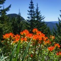 Wildflowers- Iron Mountain