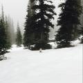 Sweet Little Fox- Mount Fremont Lookout Trail
