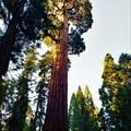 Grant Grove + General Grant Tree