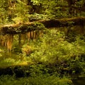 Backlit moss is just the best- Hoh Rain Forest's Hall of Moss Trail