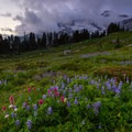 Wildflower gardens in Paradise Park along the Skyline Trail below Mt Rainier- Mount Rainier National Park