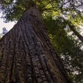 The massive trunk of a Redwood in Prairie Creek Redwoods State Park- Redwood National + State Parks