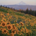 Thich patches of  Balsamroot are the highlight of this foreground with Mt Hood in the background.- Tom McCall Point Hike