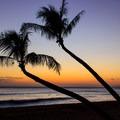 Palms leaning over the beach at sunset- Ka'anapali Beachwalk