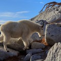 Mountain goats are abundant in the area- Enchantment Lakes Hike via Colchuck Lake
