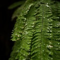 water droplets from heavy fog collect on a fern- Fern Canyon