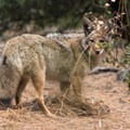Coyote takes one last look back- Four Mile Trail to Glacier Point