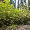Deciduous trees begin to turn yellow - Yosemite National Park
