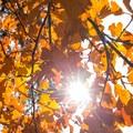 Sun star bursts though oak leaves- McArthur-Burney Falls Memorial State Park
