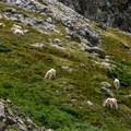 Mountain goats near the lake- McCullough Gulch Trail
