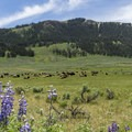Bison and lupine in Lamar Valley- Lamar Valley