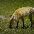 This fox caused quite a traffic jam!- Lamar Valley
