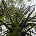 Older sitka spruce.- Harris Ranch Trail