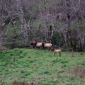 Elk!- Cascade Head Hike