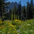 Yellow is arrowleaf ragwort (senecio triangularis), the white is a yampah (perideridia sp.), and the tall green stalks behind are false hellebore (veratrum viride)- Canyon Creek Meadows